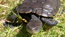 Another reason for the western swamp tortoise to smile