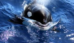 WA killer whales have Aussie accent