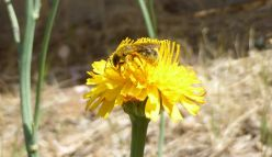 Wild Pollinator Count 2020