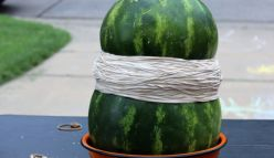 Curtin University joins The Big Watermelon Experiment