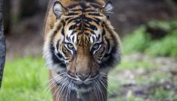 A tiger enrichment for World Wildlife Day