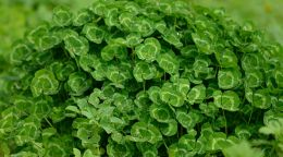 How clovers can help future-proof Aussie agriculture