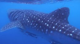 Where the wild things are: Tracking Ningaloo's whale sharks