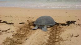 Turtle Tracks on Remote Pilbara Beach Sparks 20 year Research Project