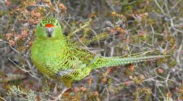 Striving to save WA's rarest bird