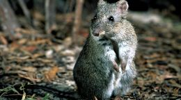 Using people power to save the world's rarest marsupial