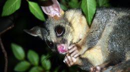 Possum crime scene snack attack