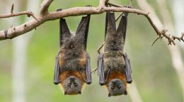 The lowdown on Perth bat caring