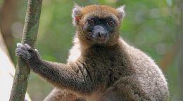 This rare bamboo-munching lemur may soon go extinct