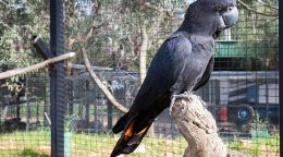 A black cockatoos journey back to the wild