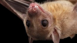 How bats help explain the human brain