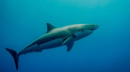 Untangling the debate on white shark populations