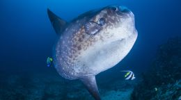 WA researcher discovers a new species of sunfish