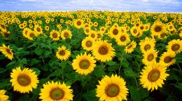 Sunflowers for soil health