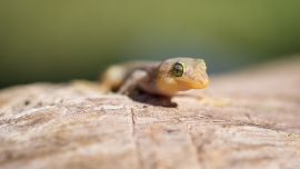 Rare Christmas Island reptiles on the road to recovery