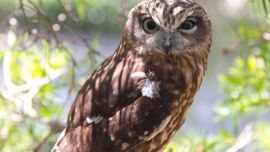 Whoo cares about WA owls?