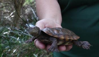 Meet the Friends of the Western Swamp Tortoise