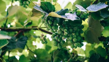 Investing in Aussie wines