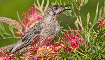 Helping Native Birds