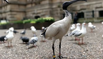 Bin chicken: more than just trash talk