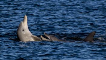 Keeping an ear on the Swan River's dolphins