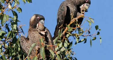 Carnaby's Cockatoos . Credit: Keith Lightbody
