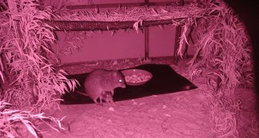 Infrared photo of potoroos at a captive breeding colony at Two Peoples Bay near Albany . Credit: Dick Walker, GPAG