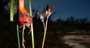 A bloodroot species discovered in the Bibbulmun Province . Credit: Stephen Hopper