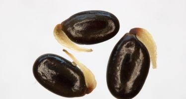 Acacia saligna seed . Credit: Andrew Crawford, DBCA