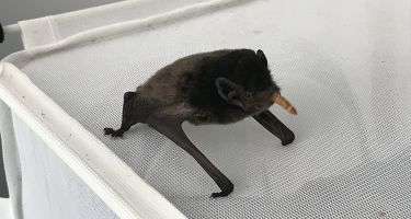 Volunteers are learning more about Perth's bat scene, caring for these little critters and nursing them back to good health!. Credit: Teresa Belcher