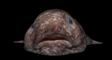 Blob fish . Credit: Rob Zugaro