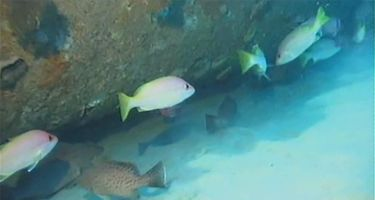 Brownstripe snapper and areolate grouper. Credit: Woodside Energy, UWA