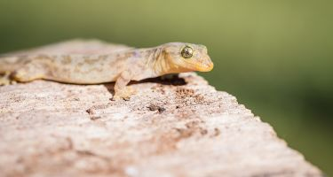 Lister's gecko. Credit: Kirsty Faulkner, Faulkner Photography