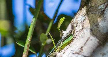 Blue-tailed skink . Credit: Kirsty Faulkner, Faulkner Photography