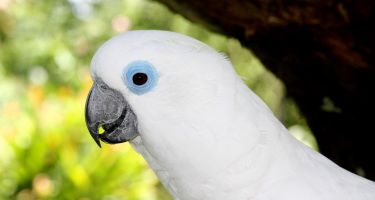 Blue-eyed cockatoo . Credit: Rob Davis