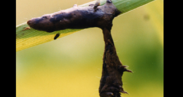 Typical appearance infected caterpillars hanging from foliage where they melt and drip the virus onto foliage below . Credit: Michael Grove