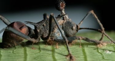Thai carpenter ant which has then been infected by the fungus . Credit: David Hughes