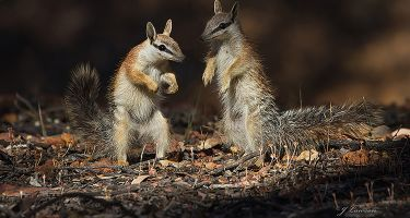 Two young numbats . Credit: John Lawson