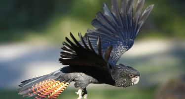 The red-tailed black cockatoos are considered vulnerable .