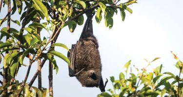 Christmas Island flying fox . Credit: Welbergen