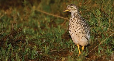 Plains-wanderer . Credit: Patrick_K59