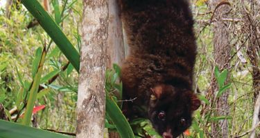Mammals didn't fare much better, with species like Perth's ringtail possum given a 1 in 4 chance of survival. . Credit: Kaori Yokochi and Roberta Bencini
