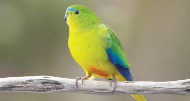 The orange-bellied parrot and one of the species that have a 50/50 or greater chance of becoming extinct. . Credit: JJ Harrison