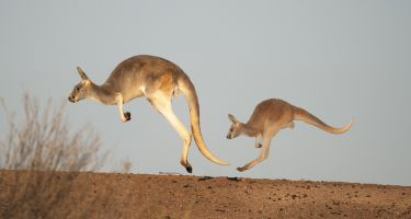 James is collecting data on kangaroos' unique hopping mechanism .