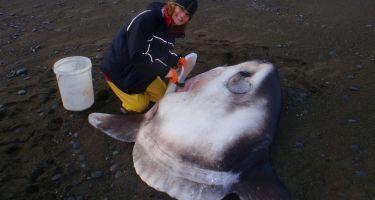 Dissecting a hoodwinker sunfish (Mola tecta) on a beach near Christchurch, New Zealand . Credit: Murdoch University