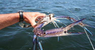 Blue swimmer crab captured in the wild . Credit: DPIRD