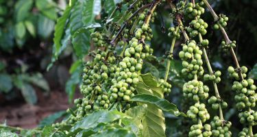 Recently, some scientists investigated why some coffee plants were becoming less healthy. .