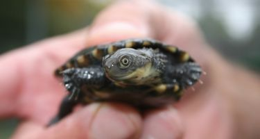 …But thanks to ongoing efforts, Perth Zoo has managed to breed and release 700 tortoises . Credit: Perth Zoo