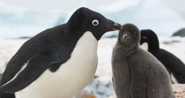 …complete with fluffy baby penguins chasing their disgruntled parents .