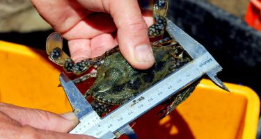 …Thanks to these measures, some species, like Shark Bay blue swimmer crabs, were able to recover . Credit: DPIRD​